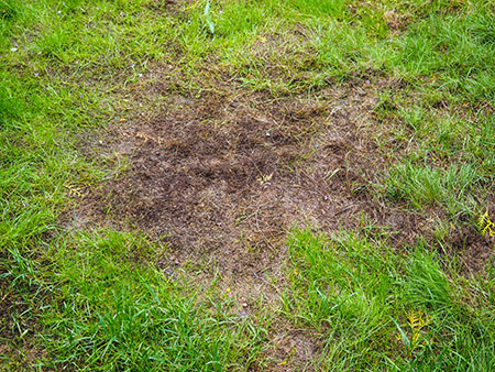 Burnt grass after moss attack